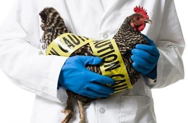موردی از آنفلوآنزای پرندگان در همدان مشاهده نشده است