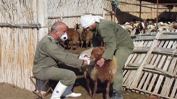 آغاز واکسیناسیون علیه بیماری تب مالت در جمعیت دامی شهرستان چوار